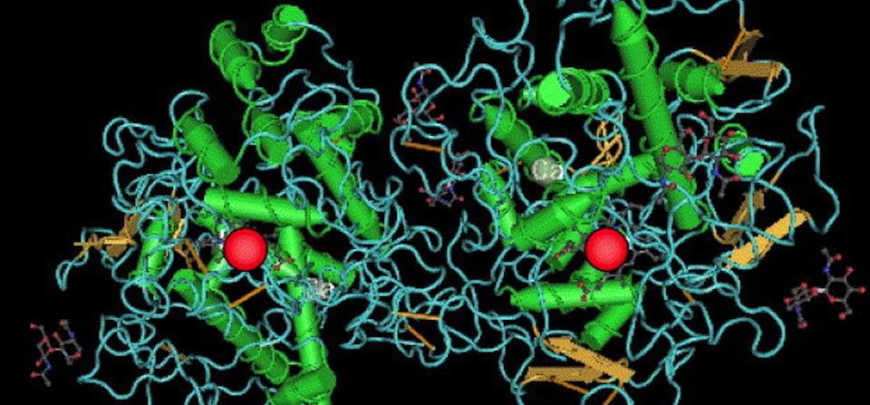 Myeloperoxidase